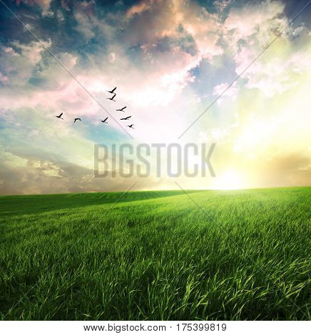 Sunset on field of grass and flying birds