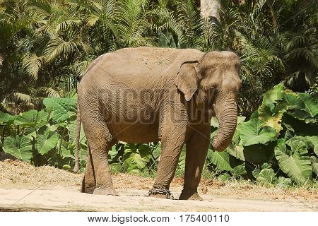 photo of an Asian elephant standing in the sun on a sunny day
