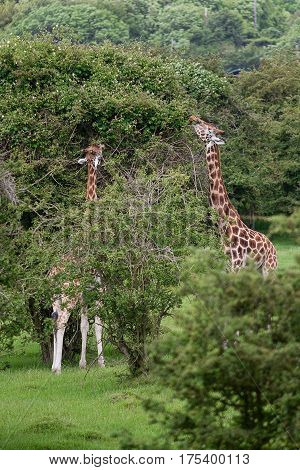 photo of two Rothschild Giraffe grazing on branches high up