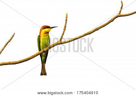 image of birds on branches on white background. Chestnut-headed Bee-eater (Merops leschenaulti)