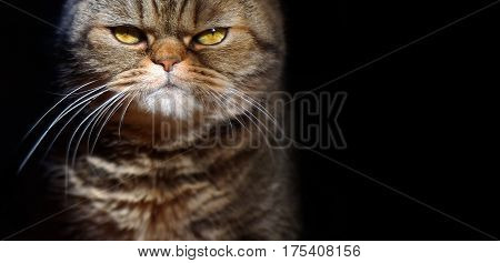 grumpy tabby serious british cat on a black