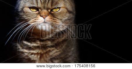 grumpy tabby serious british cat on a black