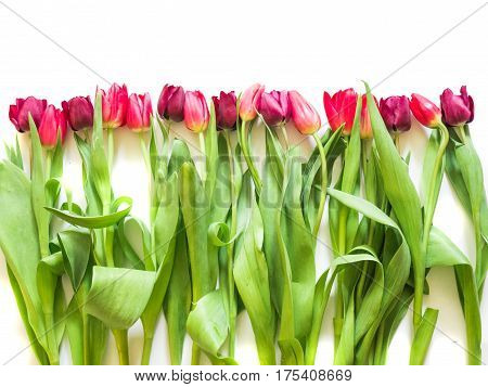 row on pink rose and purple tulips on white background
