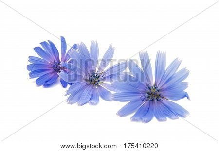 Chicory Summer flower on a white background