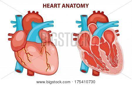 HEART ANATOMY  CROSS SECTION EDUCATIONAL VECTOR ILLUSTRATION