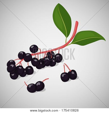 Bright juicy bird cherry or hackberry on grey background. Sweet delicious for your design in simple cartoon style. Vector illustration. Berries Collection.