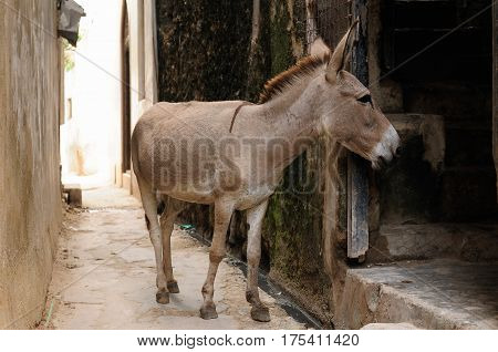 Donkey being used for a transportation of goods on the Lamu archipelago standing by the wall of the house in the Lamu city Kenya