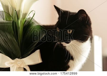 Cute Funny Black And White Cat With Wedding Luxury Bouquet Of Calla In The Morning