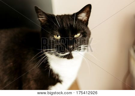 Cute Funny Black And White Cat Looking With Hilarious Face In The Morning Room