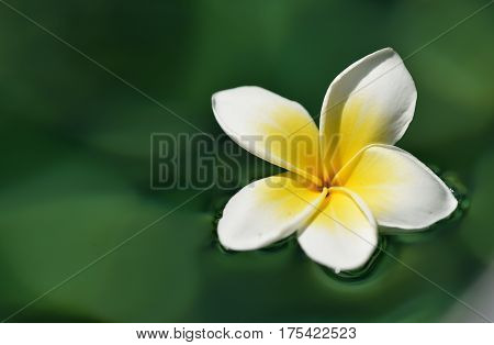 Tropical Frangipani Flower In Green Water Close Up