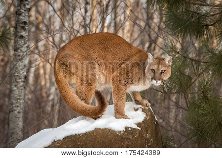 Adult Female Cougar (Puma concolor) Crouches on Snow Covered Rock - captive animal