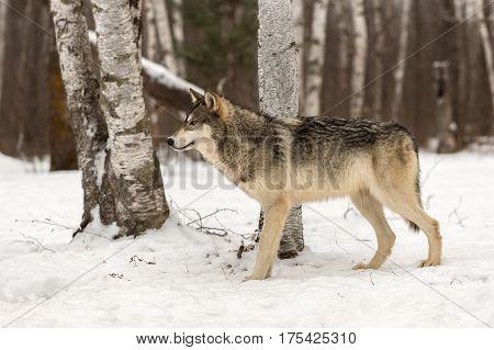Grey Wolf (Canis lupus) Alertly Looks Left - captive animal