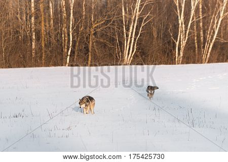 Pair of Grey Wolves (Canis lupus) Move Across Snowy Field - captive animals