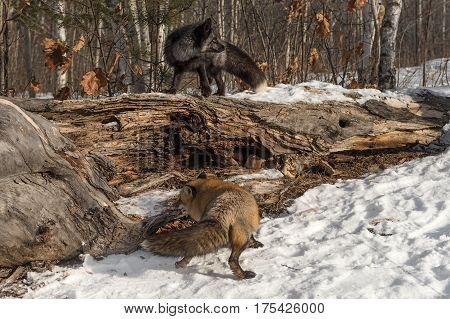 Amber Phase Red and Silver Fox (Vulpes vulpes) Conquer Log - captive animals