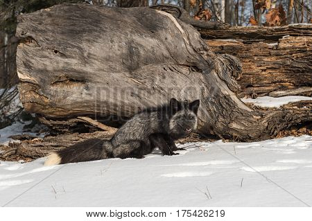 Silver Fox (Vulpes vulpes) Sits Next to Log - captive animal