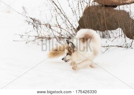 Red Marble Fox (Vulpes vulpes) Turns Back - captive animal