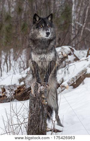 Black Phase Grey Wolf (Canis lupus) Paws On Stump - captive animal