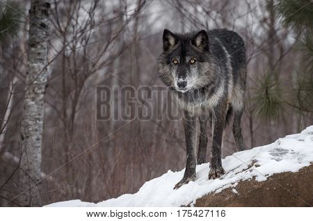 Black Phase Grey Wolf (Canis lupus) Stares Out from Atop Rock - captive animal