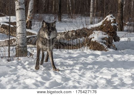 Black Phase Grey Wolf (Canis lupus) Looks Out from Forest - captive animal