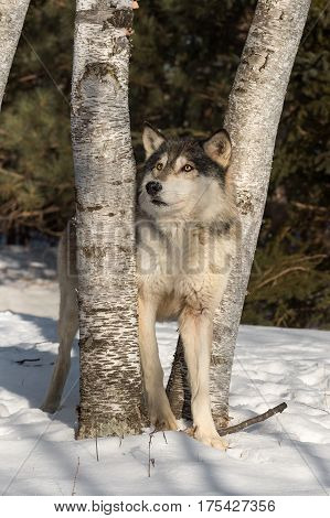 Grey Wolf (Canis lupus) Looks Up Between Trees - captive animal
