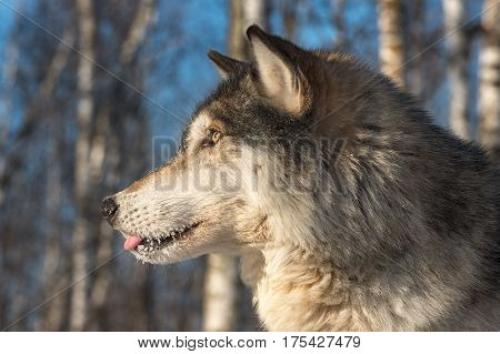 Grey Wolf (Canis lupus) Profile Tongue Out - captive animal