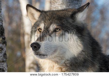 Grey Wolf (Canis lupus) Head One Ear Back - captive animal