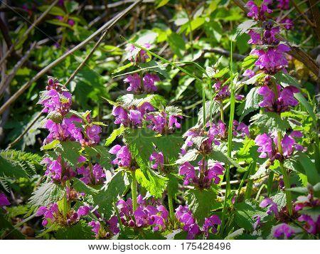Dead-nettle , Lamium maculatum, Amplexicaule, Lamium Purpureum Lamium Maculatum