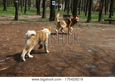 Puppy of Akita Inu and German Shepherd Dog introducing each other in public park