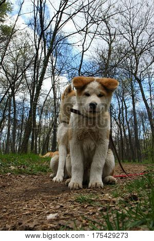 Akita inu dogs posing in the forest