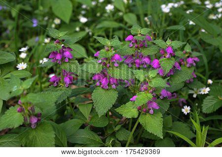 Spotted dead-nettle , Lamium maculatum, Amplexicaule, Lamium Purpureum Lamium Maculatum