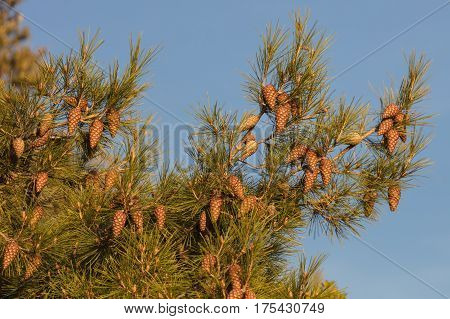 a big maritime pine with a pinecone