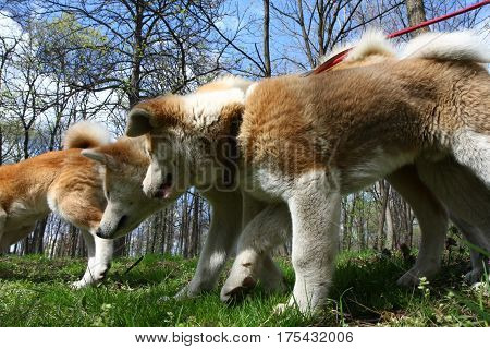 close up of Akita inu dogs walking in public park