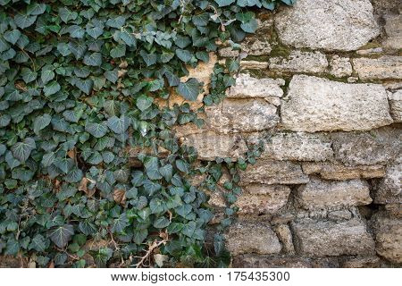 old wall from stone to half over the overgrown ivy