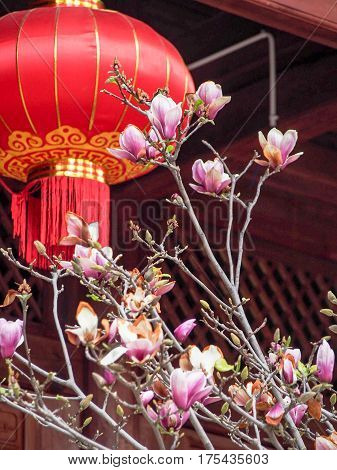 Magnolia Blossoms With Red Chinese New Year Lantern