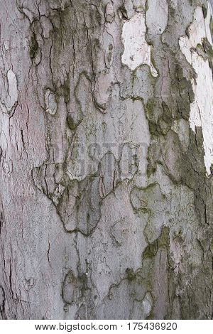 the bark of an old and large tree texture and background