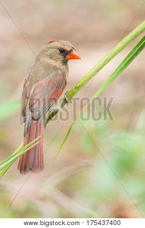 Northern cardinal (Cardinalis cardinalis). One of the most common birds in Florida.
