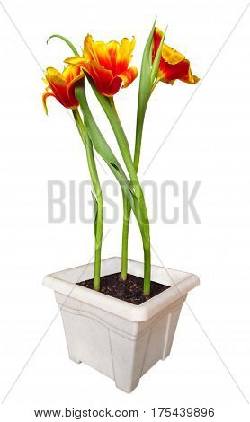 Yellow-red tulips in pot isolated on white background with Clipping Path