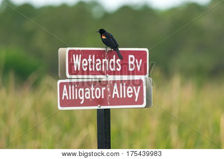 Red-winged Blackbird (Agelaius phoeniceus). Black bird is sitting on a sign. Wildlife scene from Florida, USA. Spring day on the meadow.