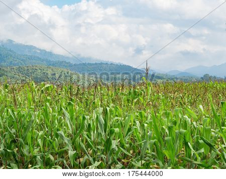 Agricultural landscape of green corn field on mountian background