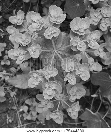 Euphorbia Helioscopia - A Spurge Plant