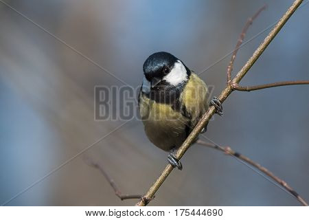 Bird - Great Tit (Parus major) sitting on the branch with blue background. Winter time.