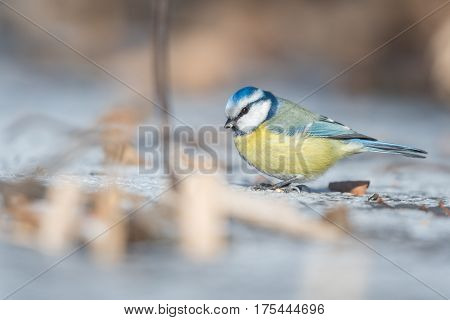 Portrait of the Eurasian Blue Tit (Parus caeruleus) on ground in a winter time.