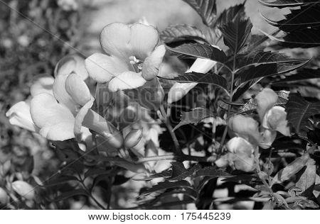 Campsis - Trumpet Vine - Flowers
