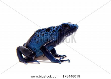 Blue Poison Dart Frog, Dendrobates tinctorius Azureus, on white background.