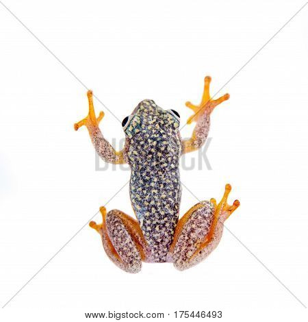Madagascan reed frog, Heterixalus alboguttatus, isolated on white background