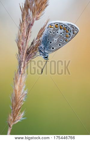 Beautiful nature scene with butterfly Common blue (Polyommatus icarus). Macro shot of butterfly on the grass. Butterfly in the nature habitat.
