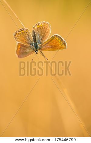 butterfly (Polyommatus icarus) resting on the grass.