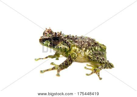 The tiny bubble-nest frog, Gracixalus supercornutus, isolated on white background