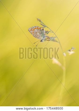 Photo of butterfly (Polyommatus icarus) on flower.