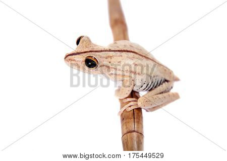 Troschel's tree frog or the convict tree frog, Hypsiboas calcaratus, isolated on white background